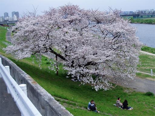 さくら_多摩川.jpg